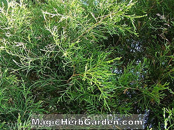 Juniperus virginiana (Pseudocupressus Red Juniper)