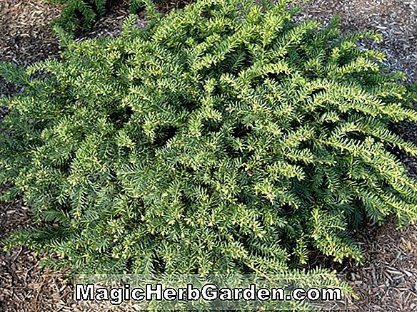 Juniperus virginiana (Silver Spreader Juniper)