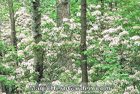 Kalmia latifolia (Stillwood Mountain Laurel)