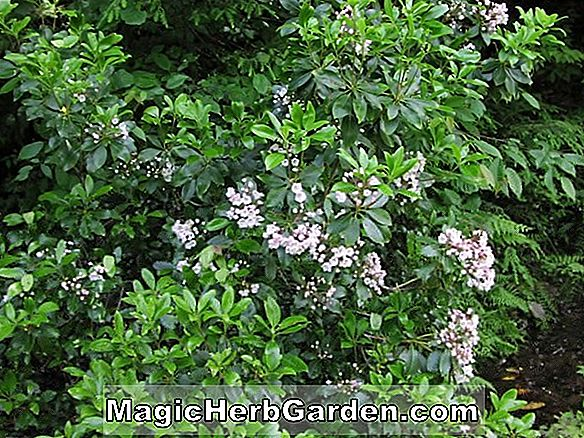 Planter: Kalmia latifolia (Nipmuck Mountain Laurel)