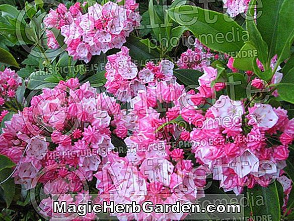 Planter: Kalmia latifolia (Pink Frost Mountain Laurel)