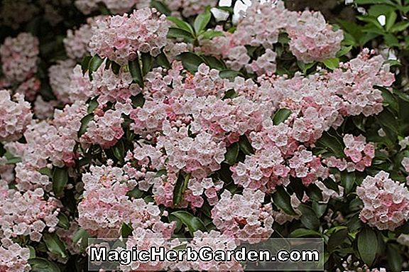 Kalmia latifolia (Pink Star Mountain Laurel)