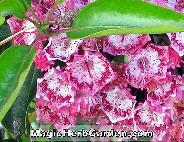 Kalmia latifolia (Wedding Band Mountain Laurel)