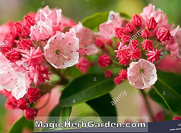 Planter: Kalmia latifolia (Carol Mountain Laurel)