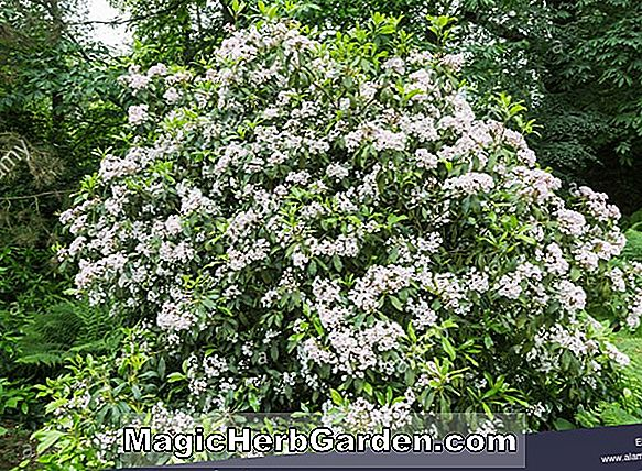 Kalmia latifolia (Clementine Churchill Mountain Laurel)