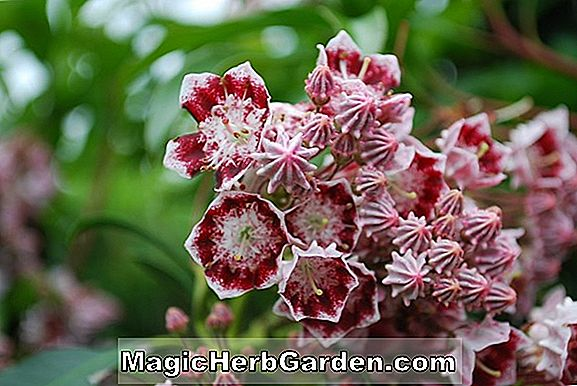 Kalmia latifolia (Heart of Fire Mountain Laurel)