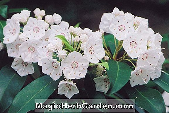 Kalmia latifolia (Nancy Mountain Laurel)