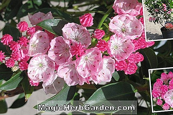 Kalmia latifolia (Olympic Wedding Mountain Laurel)