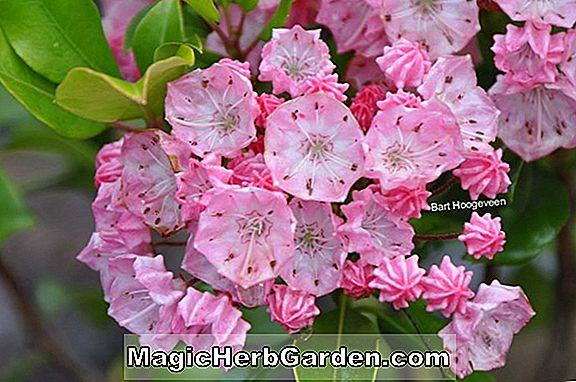 Planter: Kalmia latifolia (Alpine Pink Mountain Laurel)