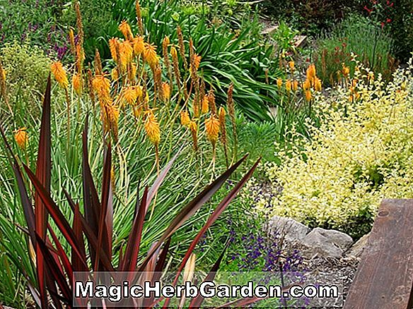 Planter: Kniphofia (Red-hot Poker)