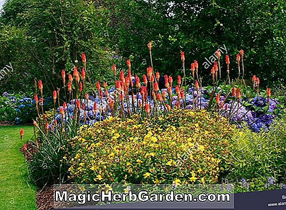 Kniphofia (Border Ballet Torch Flower)