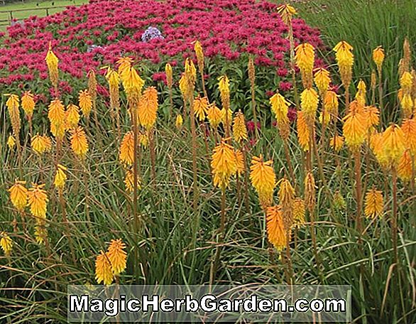 Kniphofia (Fiery Fred Torch FLower)