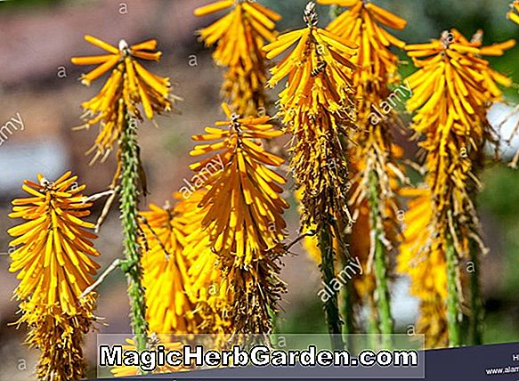 Kniphofia (Jenny Bloom Torch Flower)
