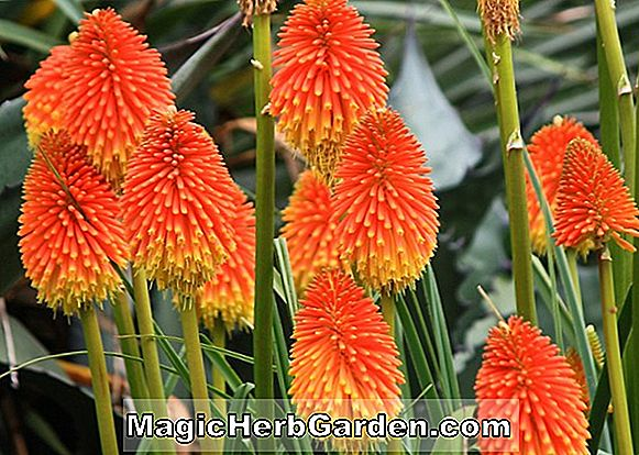 Kniphofia rooperi (C.M. Prichard Torch Flower)