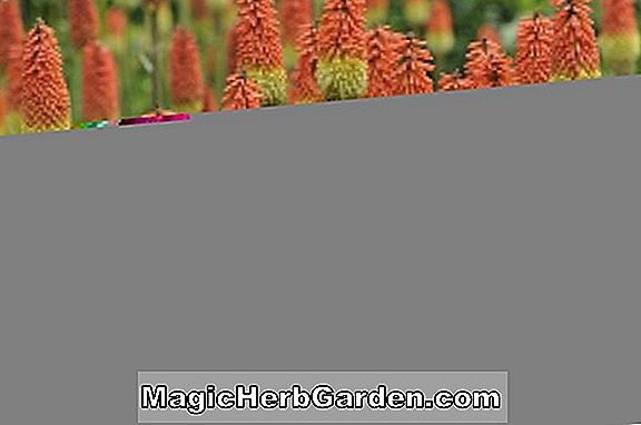 Kniphofia (Bier Sunset Torch Flower)