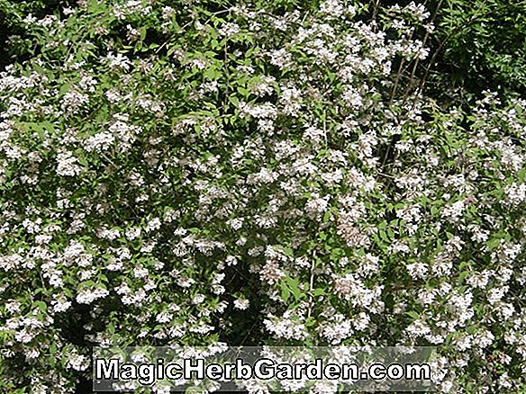 Planter: Kolkwitzia amabilis (Pink Cloud Beauty Bush)