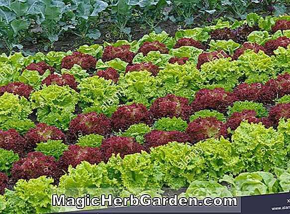 Lactuca sativa (King of the Market Salat)