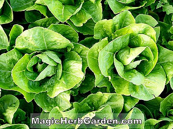 Lactuca sativa (White Paris Cos Lettuce)