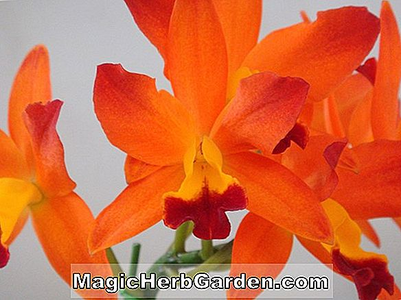 Laeliocattleya Trick or Treat (Trick or Treat Orchid.)