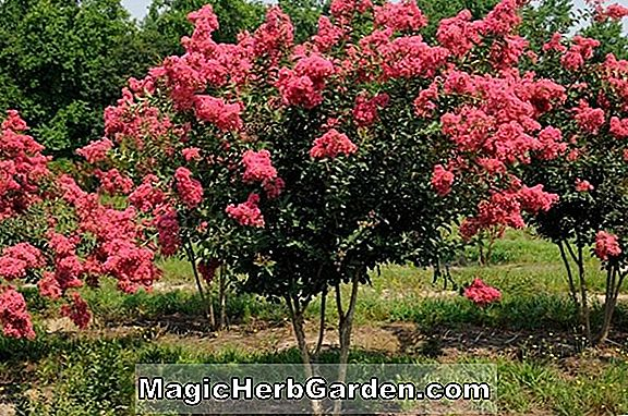 Pflanzen: Lagerstroemia indica (Tuskegee Crapemyrtle) - #2