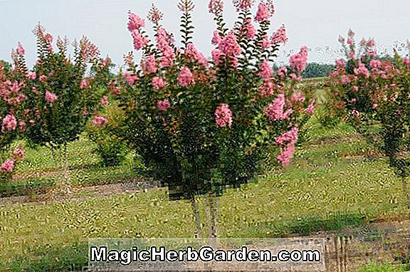 Lagerstroemia indica (Sioux Crapemyrtle) - #2