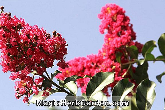 Planter: Lagerstroemia indica (Twilight Crapemyrtle)