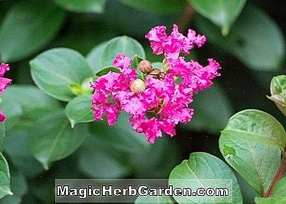 Lagerstroemia indica (William Toovey Crapemyrtle)