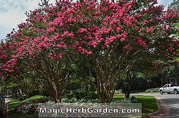 Lagerstroemia indica (Christiana Crapemyrtle)