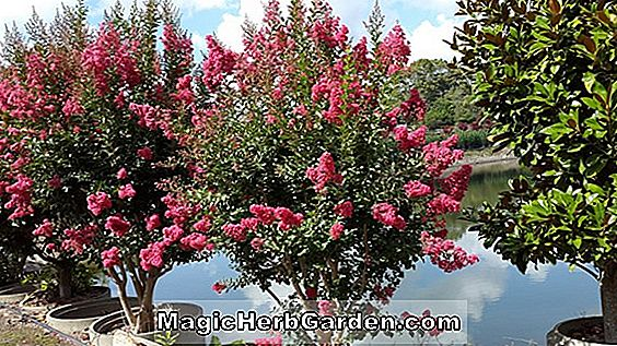 Planter: Lagerstroemia indica (Dallas Red Crape Myrtle)