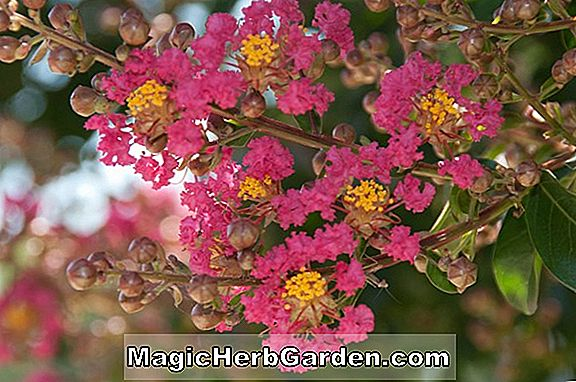 Lagerstroemia indica (Chickensaw Crapemyrtle) - #2