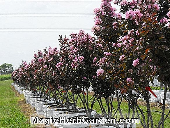 Plantes: Lagerstroemia indica (Caddo Crapemyrtle)