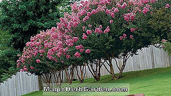 Lagerstroemia indica (Apalachee Crape Myrtle) - #2