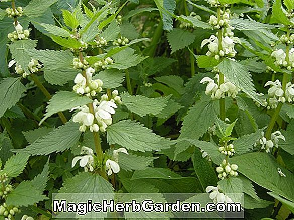 Lamium album (Beedhams White Deadnettle)