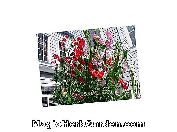 Planter: Lathyrus odoratus (Red Ensign Sweet Pea)