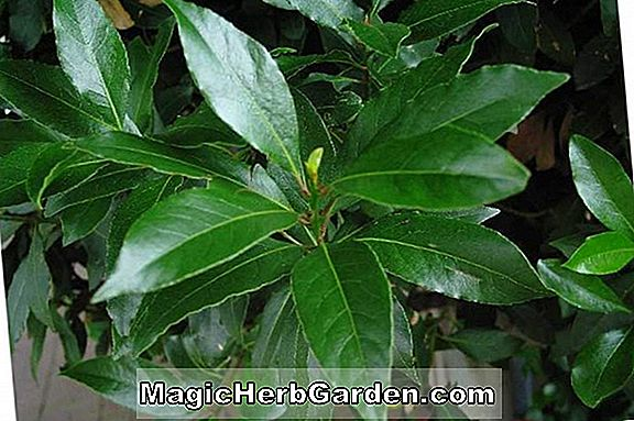 Planter: Laurus nobilis (Grecian Laurel) - #2