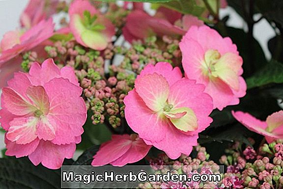 Planter: Lavatera (Candy Floss Tree Mallow)