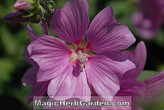 Lavatera (Kew Rose Tree Mallow)