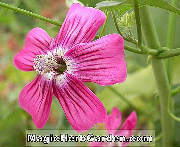 Lavatera Assurgentiflora (Brendon Springs Tree Mallow)