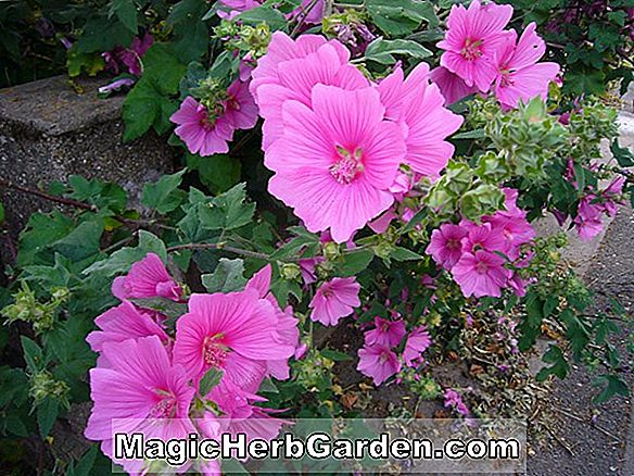 Lavatera (Shorty Tree Mallow)