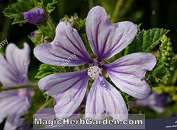 Lavatera trimestris (Pink Beauty Tree Mallow)