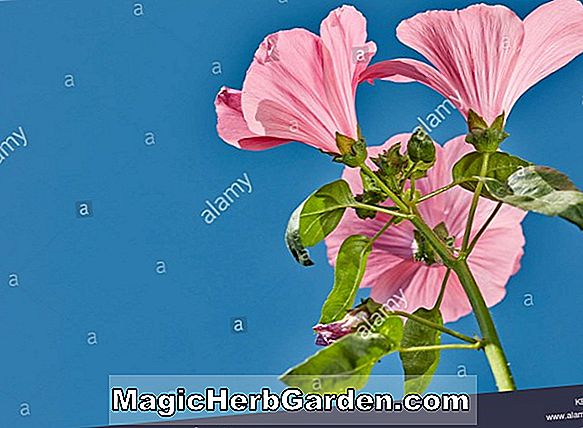 Lavatera trimestris (Mont Blanc Tree Mallow)