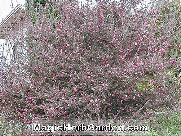 Leptospermum scoparium (Crimson Glory Teebaum)