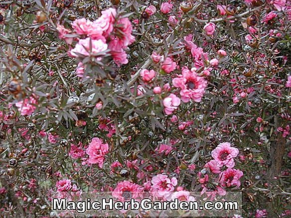 Planter: Leptospermum scoparium ('Kiwi' Tee Tree)