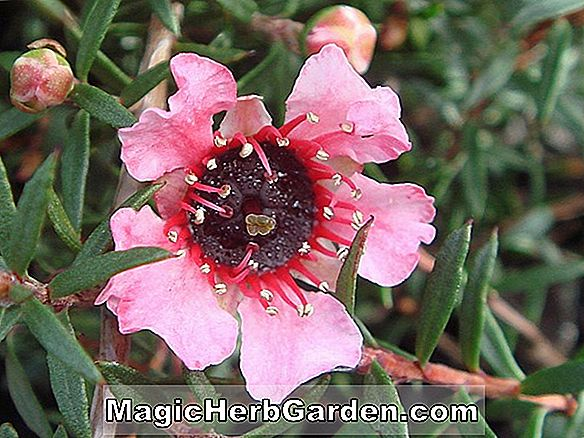 Leptospermum scoparium ('Huia' Tee Tree)