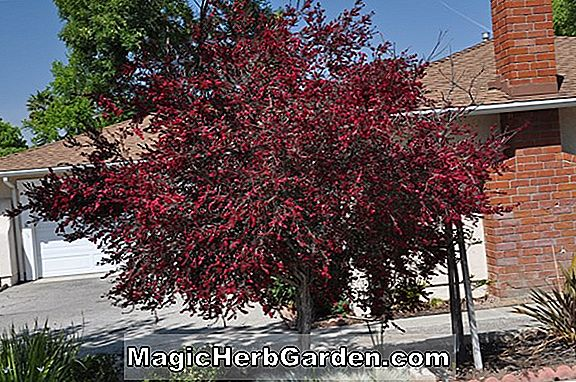 Leptospermum scoparium ('Ruby Glow' Tee Tree)