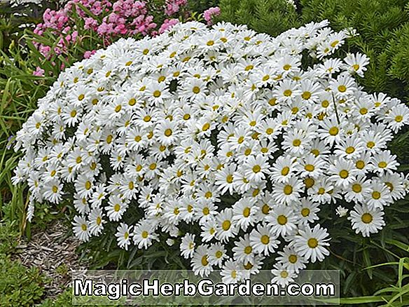 Leucanthemum superbum (Little Silver Princess Shasta Daisy)