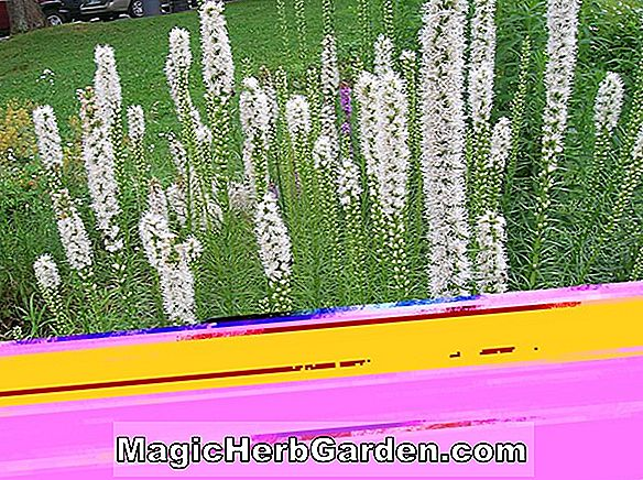 Planter: Liatris spicata (Snow Queen Blazing Star)
