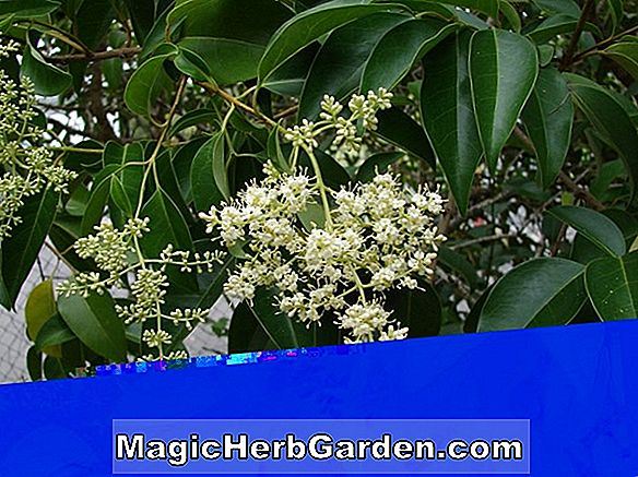 Planter: Ligustrum japonicum (Korea Dwarf Privet)
