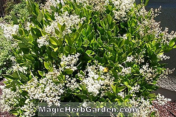 Ligustrum japonicum (Silver Star Privet)
