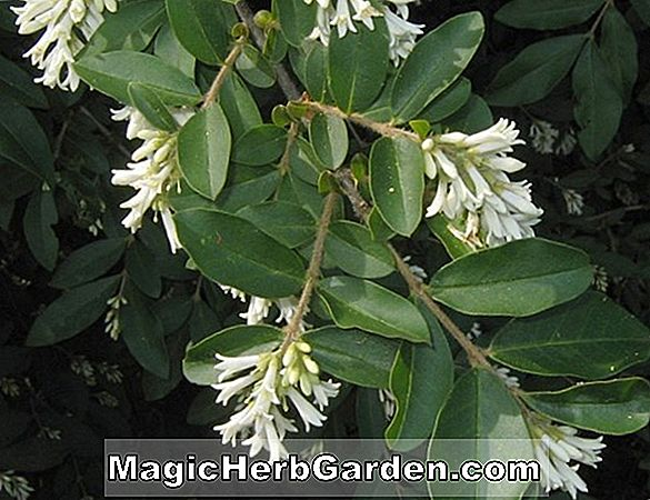 Ligustrum obtusifolium (Border Privet)